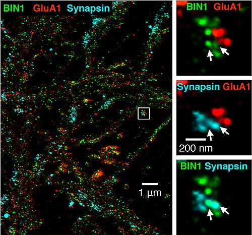 BIN1 green combined with pre post synaptic sites