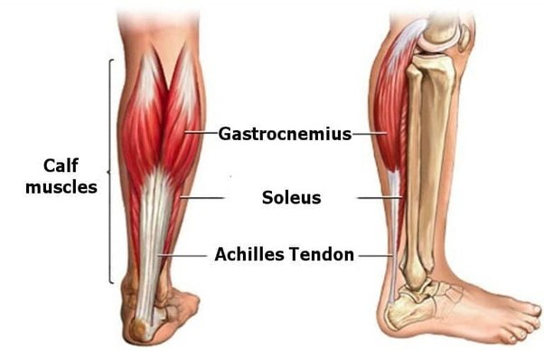 Calf muscles soleus