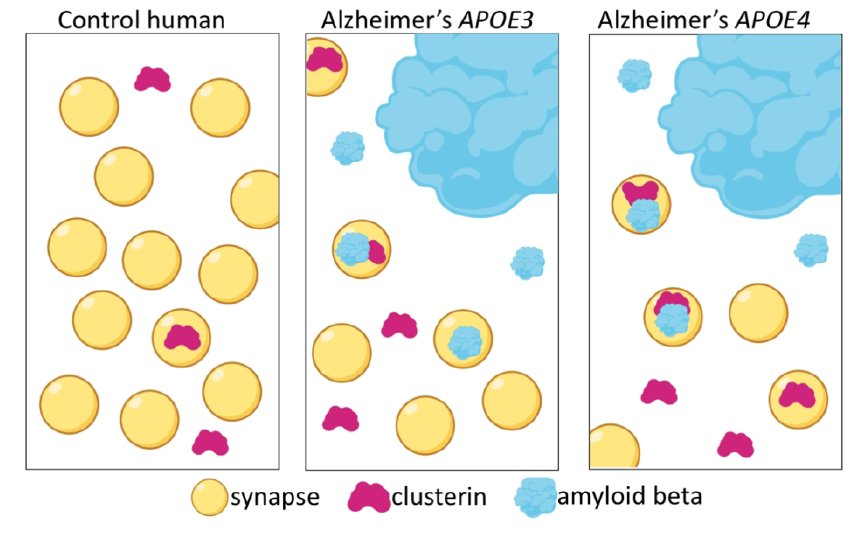 Clusterin accumulates in synapses in AD and more with APOE4