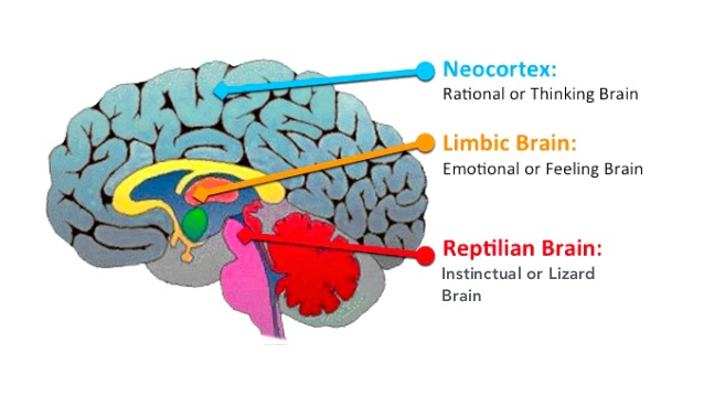 The 3 brains neocortex limbic reptilian