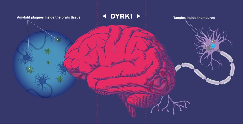 action of drug dyrk1