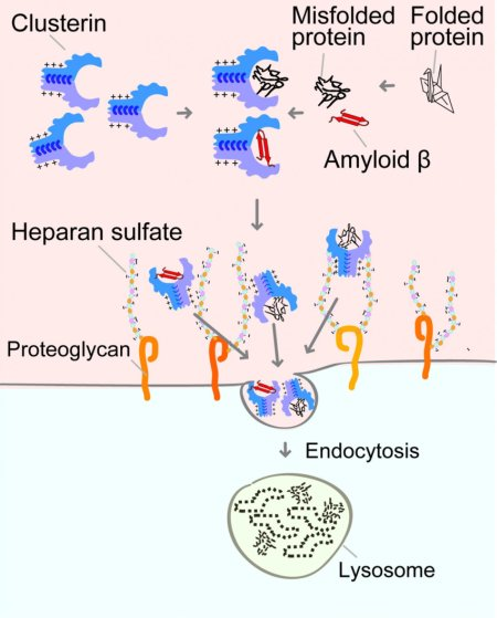 how Clusterin brings misfolded proteins and amyloid β into cells