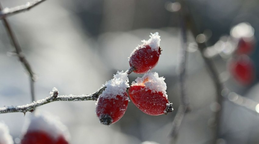 rose hip with snow